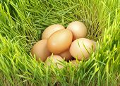 pic of hatcher  - Pile of chicken eggs between green fresh wheat - JPG