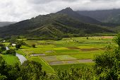 Lush Taro Fields At Hanalei