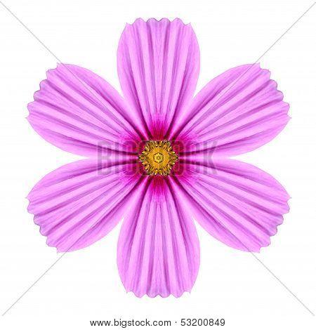 Pink Cosmea Rose Flower Kaleidoscope Isolated On White