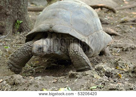 Aldabra Giant Tortoise Walking