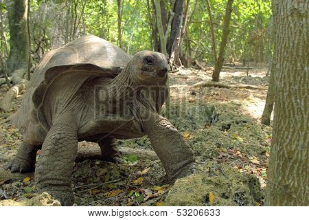 Aldabra Giant Tortoise Between The Trees