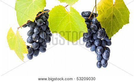 Blue Grape Clusters On White