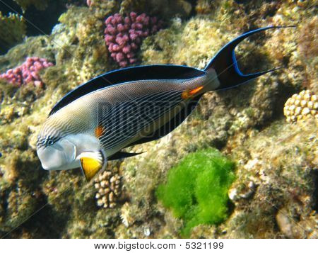 Sohal Surgeonfish In Red Sea