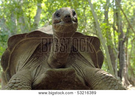 Aldabra Giant Tortoise From The Bottom