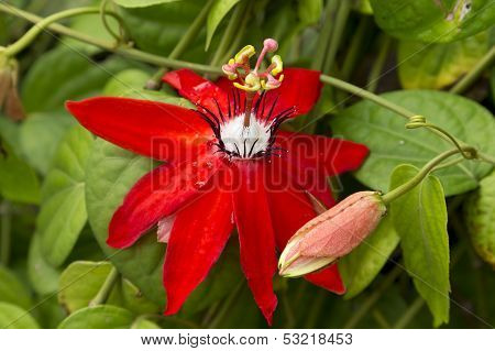 Passiflora (mary Jane)