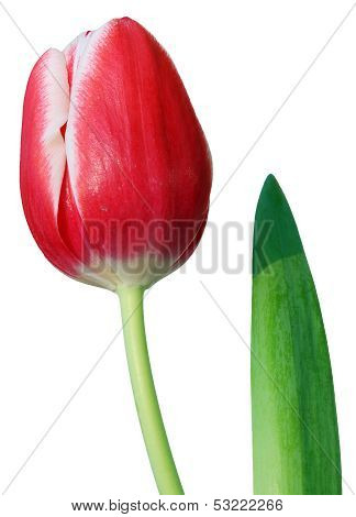 Tulip Isolated On White