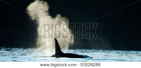 Orca Killer Whale Blowing