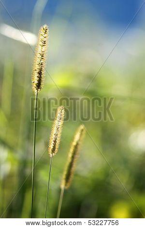 Beautiful Glow Grass Flower In Nature