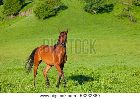 horse of the Arab breed to stand on a green meadow