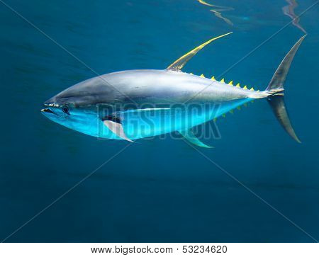 Yellow Gin Tuna Fast Moving In The Ocean