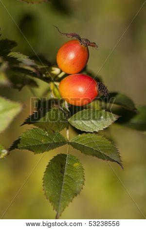 Fruit Rose