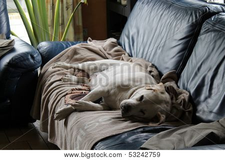 labrador retriever in the sofa