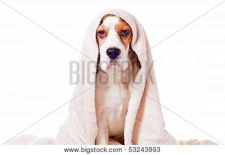 Dog Under A Blanket On White
