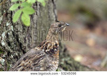 Ruffed Grouse In The North Woods