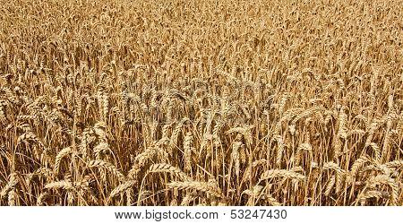 Wheat Cereal Grain
