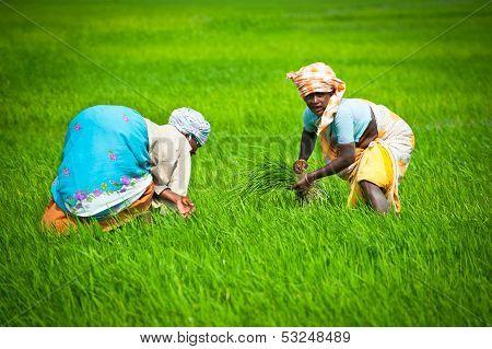 Thanjavour, India - February 13: Indian Woman Works At Rice Field. India, Tamil Nadu, Near Thanjavou
