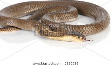 Isolated King Cobra