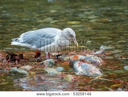 Seagull Over Dead Salmon