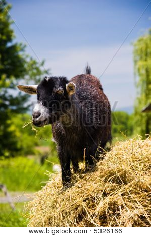 Young Black Goat Chewing Hay