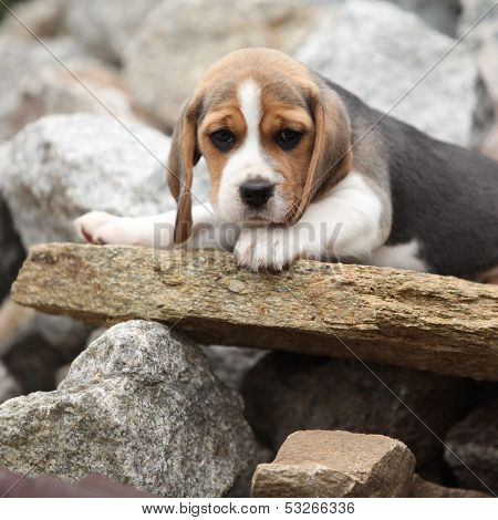 Nice Beagle Puppy Lying On Stone