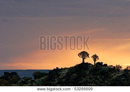Silhouettes of quiver trees (Aloe dichotoma) at sunrise, Namibia