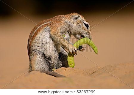 Ground squirrel (Xerus inaurus) feeding on a pod of a tree, Kalahari, South Africa