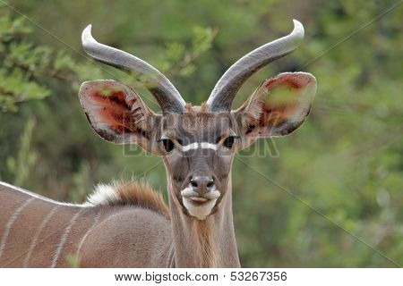 Portrait of a young male Kudu antelope (Tragelaphus strepsiceros), South Africa