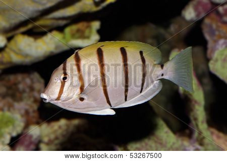 Underwater view of a Convict Surgeonfish or Manini (Acanthurus triostegus)