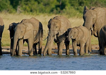 Herd of African elephants (Loxodonta africana) at a waterhole, Hwange National Park, Zimbabwe