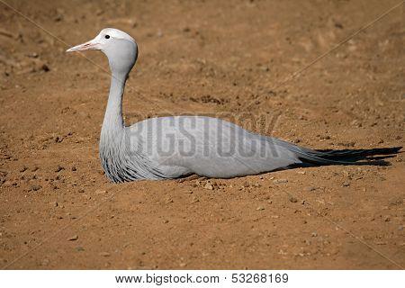 Endangered Blue crane (Anthropoides paradisea), National bird of South Africa