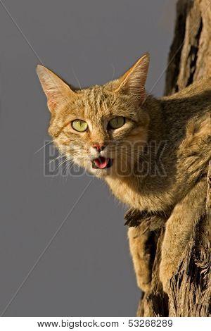 An African wild cat (Felis silvestris lybica) lying in a tree, Kalahari desert, South Africa