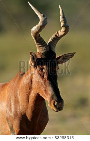 Portrait of a red hartebeest (Alcelaphus buselaphus) , Kalahari desert, South Africa