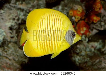 Underwater view of a Yellow butteflyfish (Chaetodon semilarvatus)