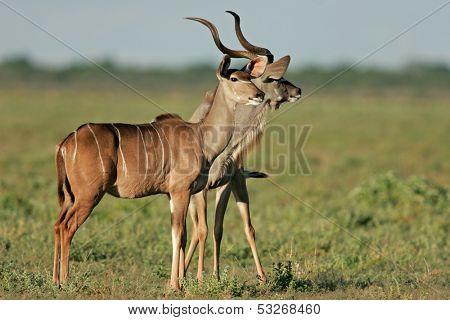 A male and female kudu antelopes, (Tragelaphus strepsiceros), Etosha National Park, Namibia, southern Africa