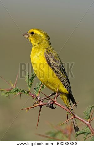 Yellow canary (Serinus mozambicus) perched on a branch, Kalahari, South Africa