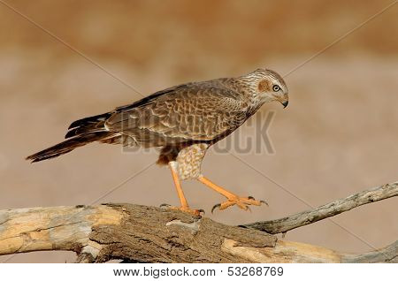 Immature Pale Chanting goshawk (Melierax canorus), perched on a branch, Kalahari desert, South Africa