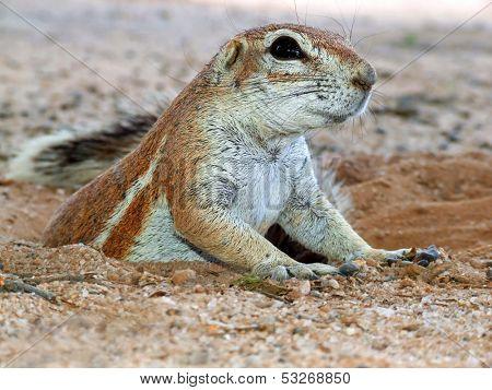Close-up of a ground squirrel (Xerus inaurus) emerging from his burrow, Kalahari desert, South Africa