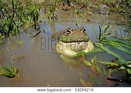 Male African giant bullfrog (Pyxicephalus adspersus) calling, South Africa