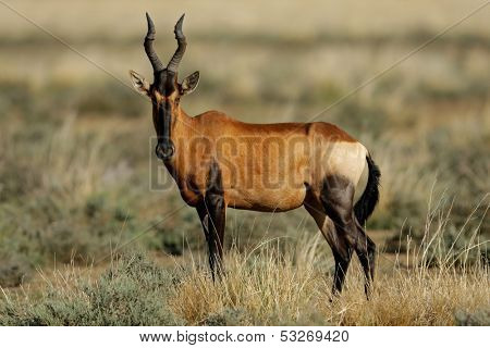 Red hartebeest (Alcelaphus buselaphus), South Africa