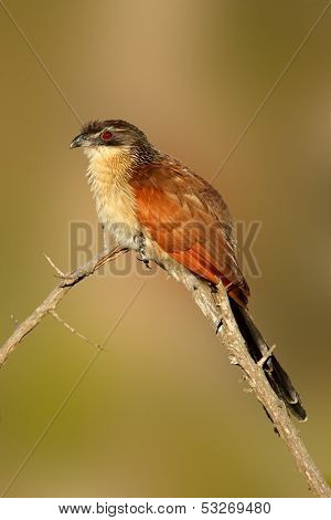 A burchell's coucal (Centropus burchellii) perched on a branch, South Africa