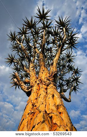 Quiver tree (Aloe dichotoma) against a cloudy sky, Namibia, southern Africa
