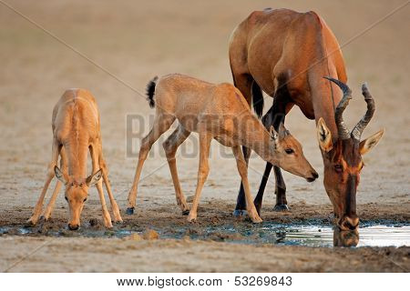 Red hartebeest antelope (Alcelaphus buselaphus) with young calves, Kalahari, South Africa