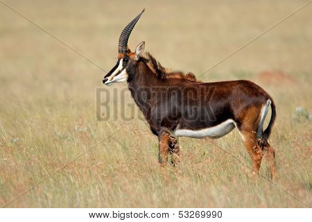 Rare sable antelope (Hippotragus niger), South Africa