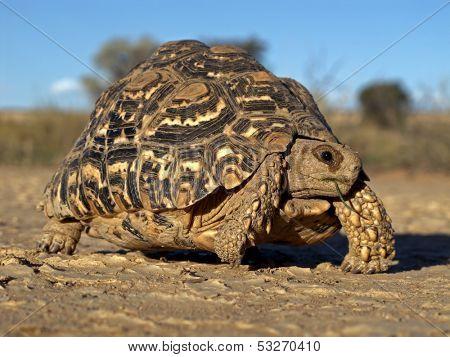 Mountain tortoise (Geochelone pardalis), Kalahari desert, South Africa