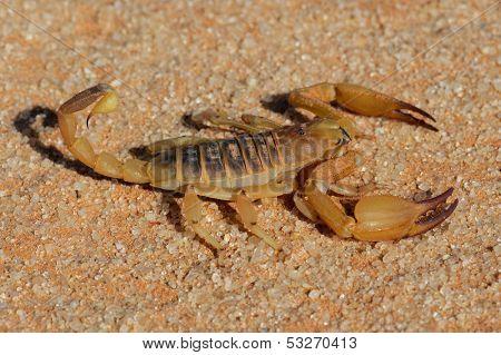 Aggressive scorpion (Opistophthalmus carinatus), Kalahari desert, South Africa
