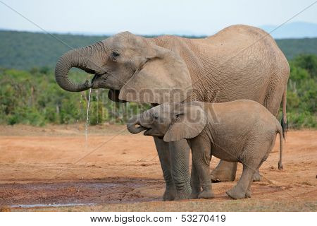 Drinking African elephants (Loxodonta africana), Addo Elephant National park, South Africa