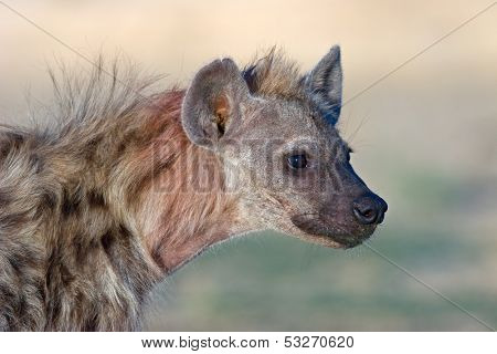 Portrait of a spotted hyena (Crocuta crocuta), Kalahari, South Africa