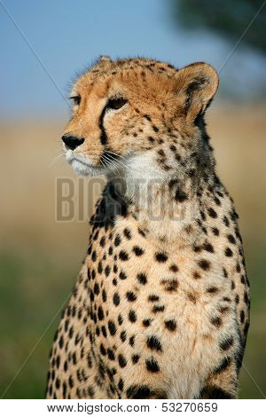 Portrait of a cheetah (Acinonyx jubatus) sitting upright, South Africa