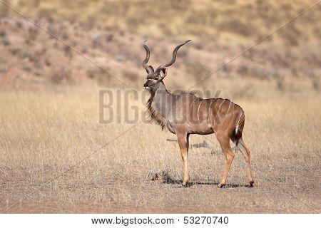 A big male kudu antelope, (Tragelaphus strepsiceros) Kalahari desert, South Africa
