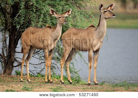 Two female kudu antelope (Tragelaphus strepsiceros), South Africa